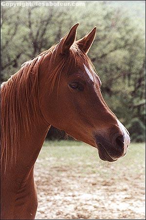 cheval arabe brun