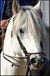 Race de chevaux camargue