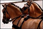 Race de chevaux fjiord
