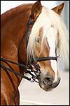 Race de chevaux halflinger