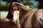 Race de chevaux palomino